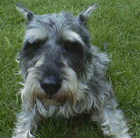 miniature schnauzer dog breed miniature schnauzer dog breed pictures 1