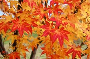 japanese maple leaves average us