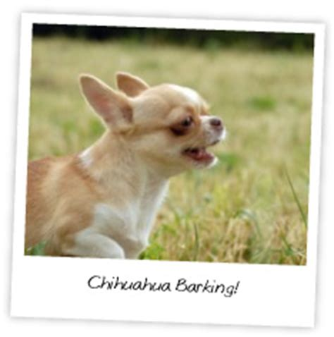 how to make my stop barking how to make your chihuahua stop barking