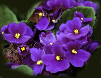 state flower of illinois the state flower of illinois the violet pictures