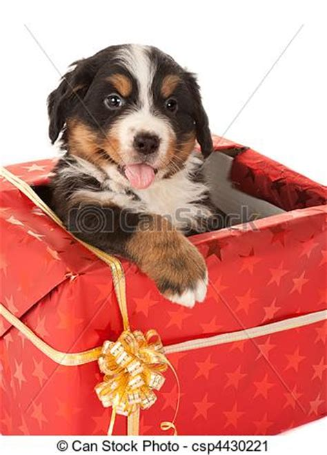 stock photography of christmas present with dog bernese