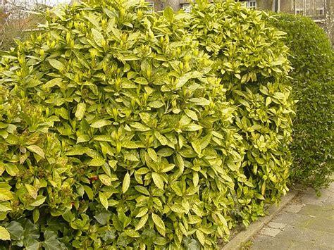 plants flowers 187 aucuba japonica