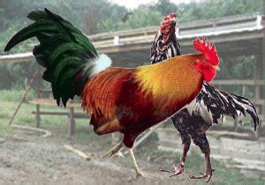 Cangkul Lokal Merk Ayam Jago 4 tips cara memelihara ayam