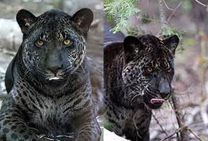 Jaguar Breeds Jaglion A Jaguar Hybrid