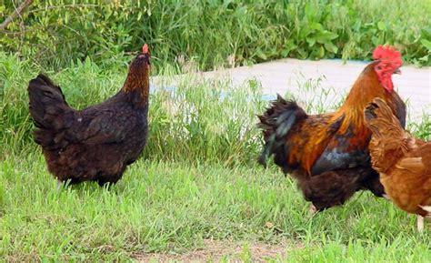 Backyard Chickens Kansas Pics Added Black Copper Marans Flock For Sale Kansas