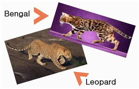 house cats that look like leopards domestic cats that look like leopards