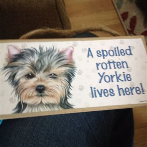 spoiled rotten yorkies 1000 images about teacup yorkie on terrier yorkie and