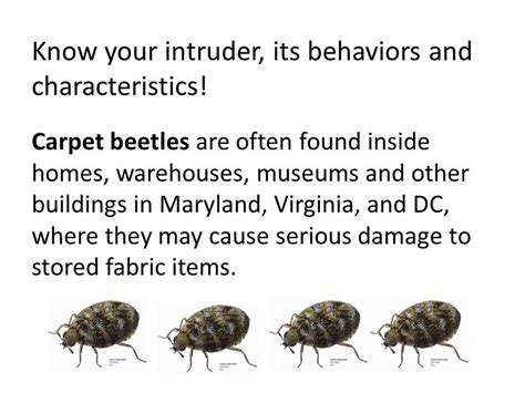 how to get rid of carpet beetles in my bedroom how do you get rid of carpet beetles uk carpet vidalondon