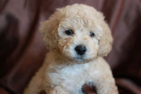 goldendoodle puppy rescue san diego mini goldendoodle puppies for adoption san diego