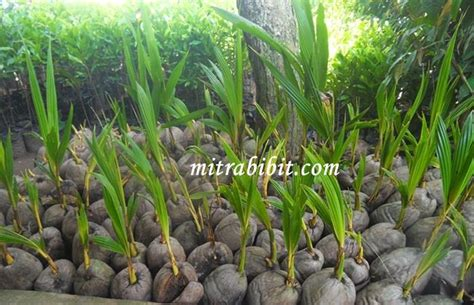 Jual Bibit Kelapa Hibrida Pontianak jual bibit kelapa genjah kelapa hibrida murah