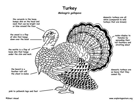 can you give a turkey turkey exploring nature educational resource