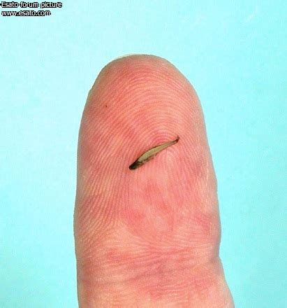 Bor Fisch worlds smallest fish esato archive