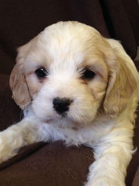 cavachon puppies for adoption cavachon puppies for sale in west pets4homes