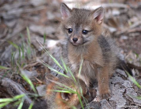 fox puppy 15 adorable wildlife puppies for national puppy day the national wildlife federation