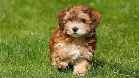 havanese with puppy cut what is a havanese puppy cut reference