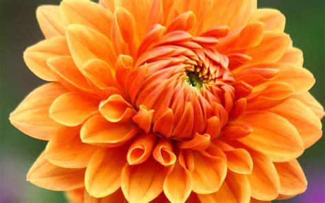 photos of flowers beautiful flowers cherysanthmum
