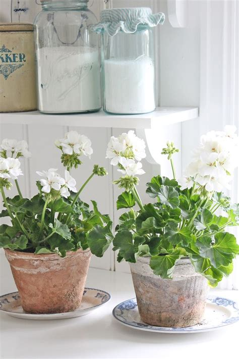 Indoor Plants Sunny Window White Geraniums Are One Of My Favorite Plants And Make