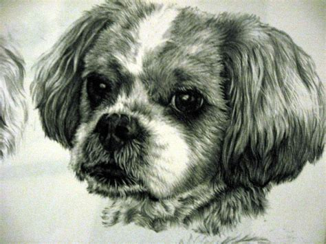 shih tzu with curly hair thai shih tzu x bichon by xx ashley on deviantart