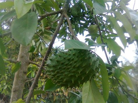 buah sirsak ratu jualbenihmurahcom