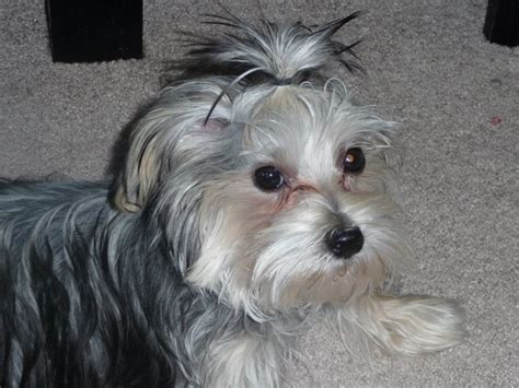 hair cut for maltese around the morkie madness what will my morkie puppy look like at
