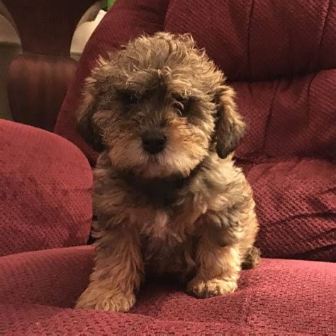schnoodle puppies for sale puppies for sale schnoodle all sizes schnoodles f category in union ohio