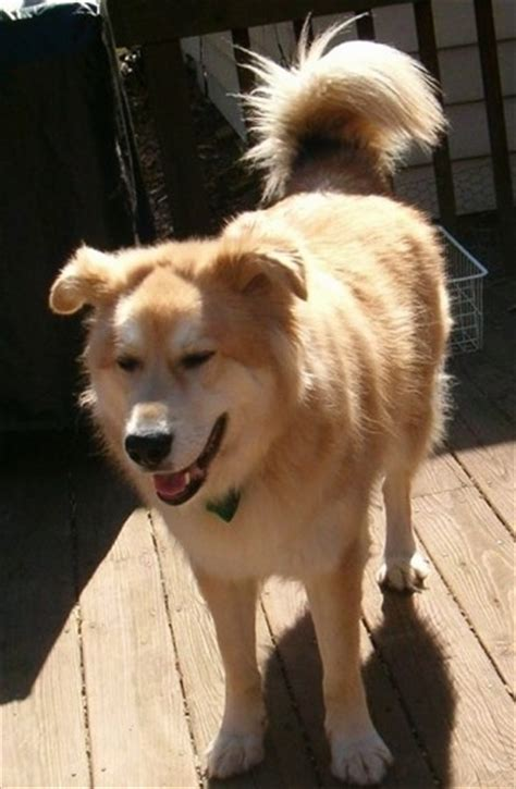 husky golden retriever mix for sale golden retriever husky mix for sale ga dogs in our photo
