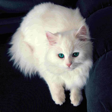 cat wallpaper for mobile hd mobile white cat wallpaper full hd pictures
