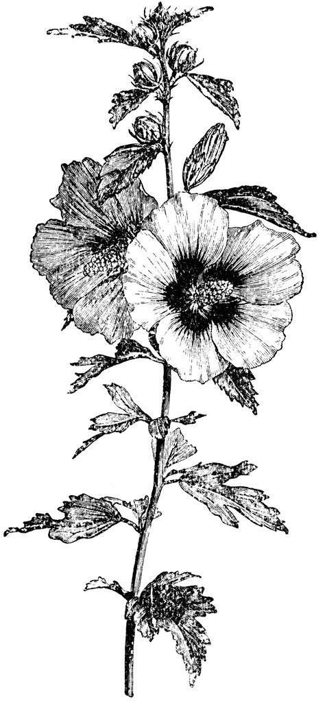 Flowering Branch of Hibiscus Syriacus   ClipArt ETC