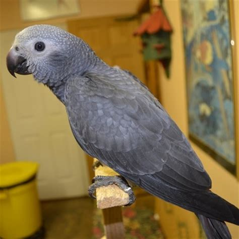 african grey timneh parrot 110463 for sale in chicago il