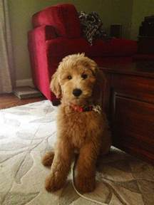 goldendoodle puppy cut goldendoodle dogs animals