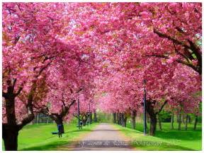 tree in bloom spring hd wallpaper nature wallpapers