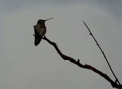 detailed information  black chinned hummingbird