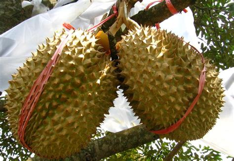 Cari Bibit Durian Musang King Di Medan durian montong pegipegi travel
