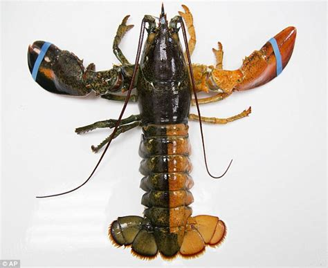 million split colored lobster caught