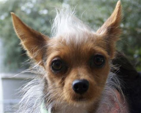 pictures of yorkie and chihuahua mix mimi the chihuahua yorkie mix s web page