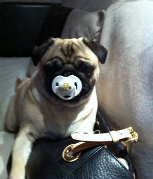 pug rodriguez pug photos pictures pugs page 31