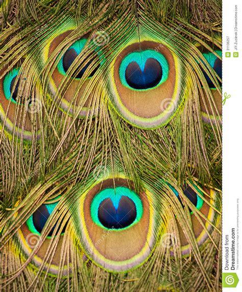 big colorful bird peacock royalty free stock photography image 31136257