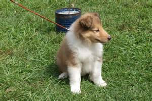 Baby collies for adoption collie rough dog puppy dog gallery