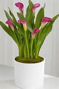 calla lily plant pure floral design southport