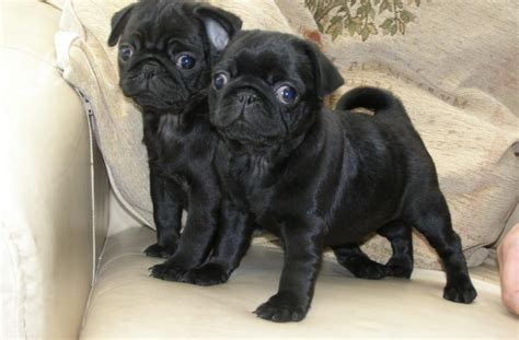 are pugs with children pugpugpug
