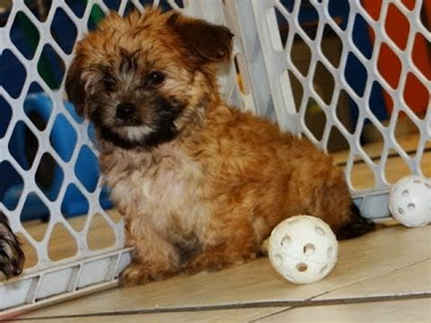 morkie puppies for sale indiana morkie puppies dogs for sale in gulfport mississippi ms 19breeders biloxi