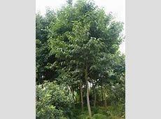 Eucommia ulmoides TREE SEEDS | ZHONG WEI Horticultural ... L Arginine Results