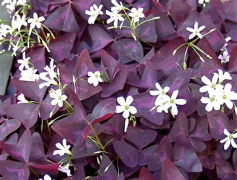 Purple Cover by Purple Shamrock Oxalis Triangularis 1 House Plant Or