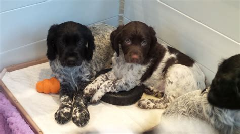 small munsterlander puppies for sale small munsterlander puppies for sale by gun breeders autos post