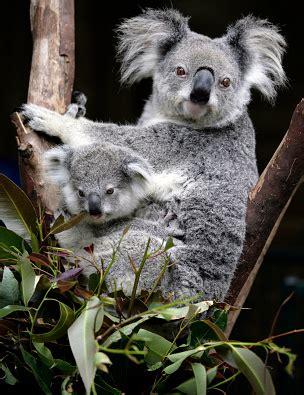female koala pouch koala facts for kids australian animals marsupials
