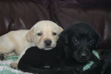 labs dogs lab puppies woodland kennel oxford ct