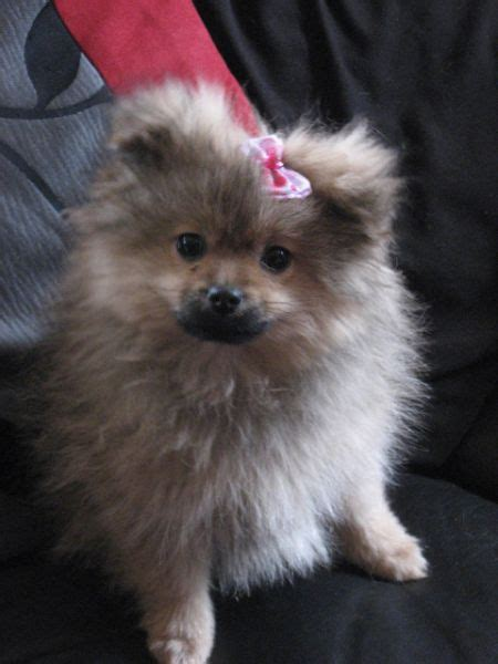 pomeranian pekingese 25 pomeranian cross breeds you to see to believe