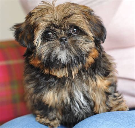 shih tzu imperial type tiny imperial shih tzu pet home only bournemouth dorset pets4homes