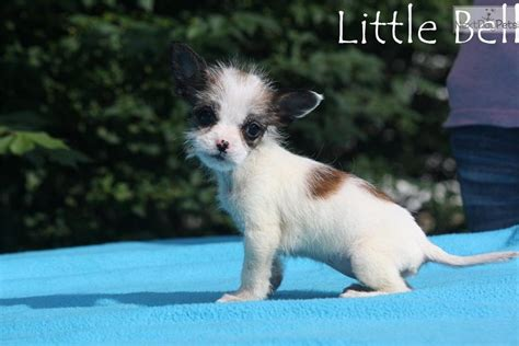 free puppies jackson tn chihuahua jackson tennessee breeds picture
