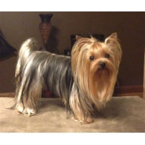 yorkies for sale in shreveport la terrier yorkie studs in louisiana freedoglistings usa